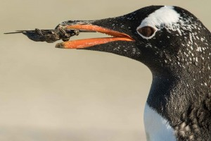 a gentoo carrying nest material